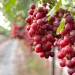 Uvas de Mesa de Jalisco